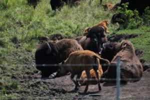 Bison at Midewin National Tallgrass Prairie