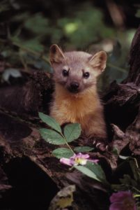 Adorable fuzzy rodent peeks out from forest underbrush
